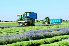 Alcarria Flora invita a conocer la destilación de la lavanda y la incidencia de la norma REACH de aromáticas en APAG y Brihuega